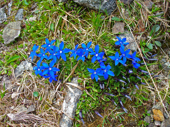 Flora del Veneto, Genziana (Gentiana).